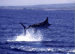 Blue Marlin - Maui Sportfishing